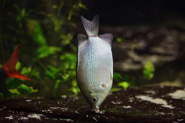 Kissing gourami (Helostoma temminckii)