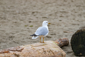 Closeup of a seagull sitting on a log, Vancouver Jericho beach