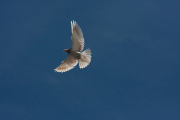 pigeon flying above the ground. big wings against