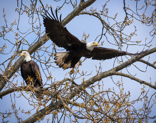 two bald eagles in a tree
