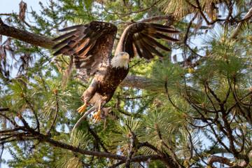 bald eagle spread wings