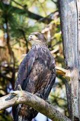 juvenile bald eagle up close