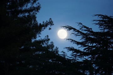 Large bright moon nestled between pine tree branches, during twilight evening hour. Pine tree branches appear to hold the moon up.
