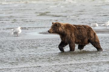 Brown bear fishing for salmon along beach;  Alaska