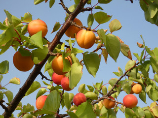 Branches of an apricot tree
