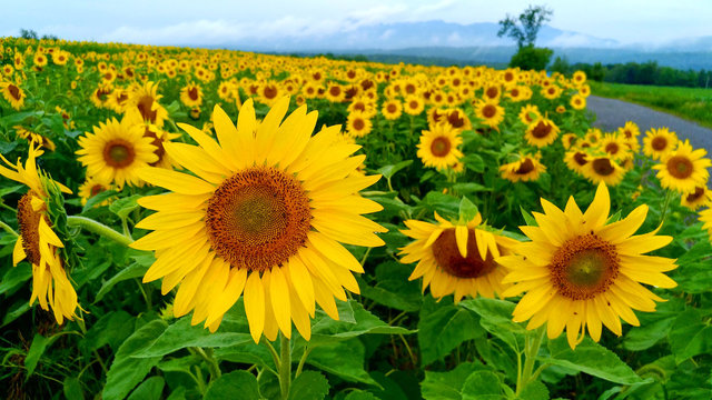 Beautiful field of sunflowers