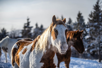 Beautiful Chestnut Paint Horse Close Up in Sunset in Winter
