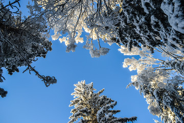 Blue sky and trees covered in snow