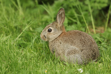 A cute baby Wild Rabbit (Orytolagus cuniculus) feeding in the grass on Orkney, Scotland.