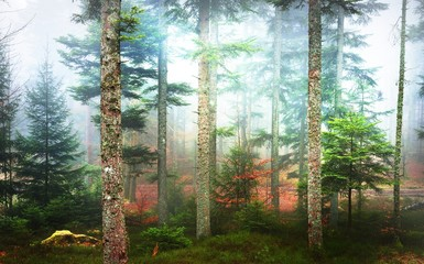 A distant path in a misty pine forest. French Alsace, Vosges mountains