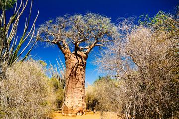 Landscape with Adansonia grandidieri baobab tree in Reniala, Madagascar