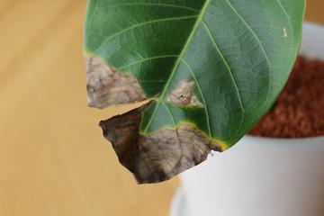 傷んだ観葉植物
