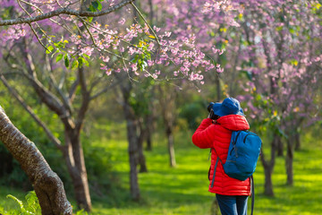 Photography traveler Sightseeing in Japan take pictures Cherry blossom.