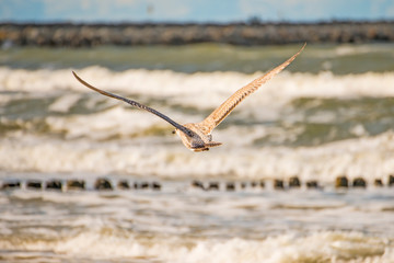 Herring gull, young bird flying over groins in the Baltic sea in Poland