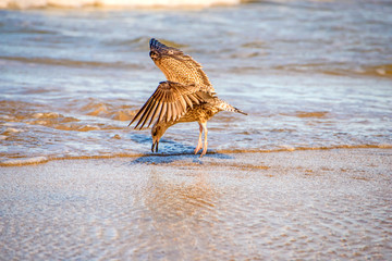 herring gull on a beach of the Baltic sea with food