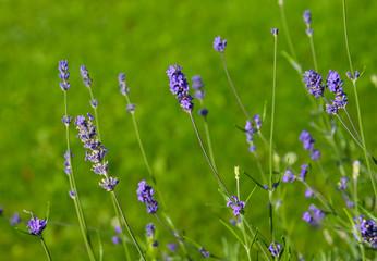 Selective focus on lavender flower in garden