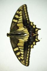 Farfalla gialla e nera macro fotografia