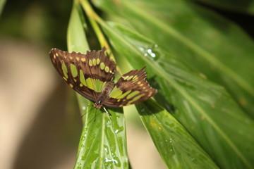 Farfalla verde sopra una foglia