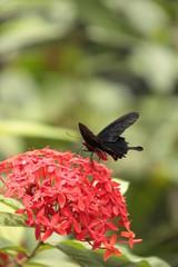 Farfalla nera sopra un fiore rosso