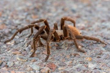 Tarantula Crossing The Street