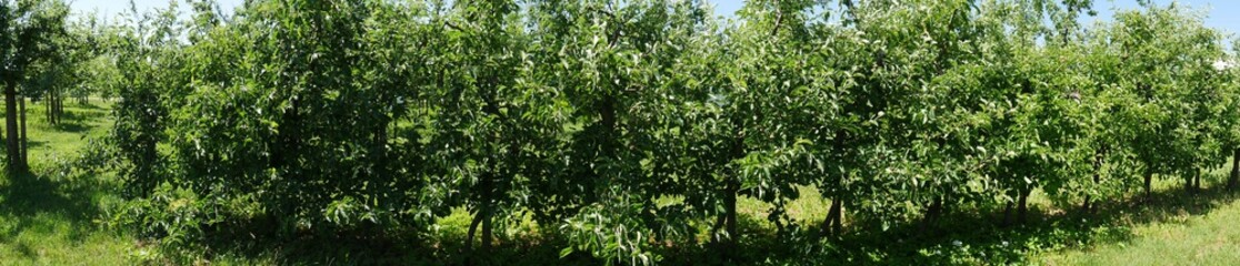 Apple trees in a row, in an apple-tree plantation. Panoramic picture taken in the sunshine. The fruits are not ripe yet