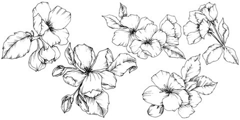 Vector Apple blossom floral botanical flower. Black and white engraved ink art. Isolated flowers illustration element.