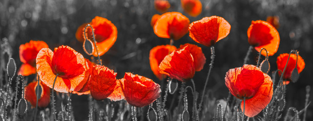 Poster Poppy natural composition of red poppies, selective color, only reds and blacks