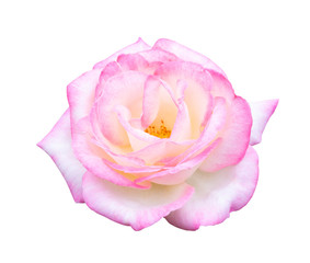Beautiful sweet white mix pink rose flower isolated on white background, love and romantic concept