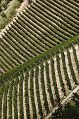 Fototapete - Famous vineyards in Chianti, Tuscany, Italy