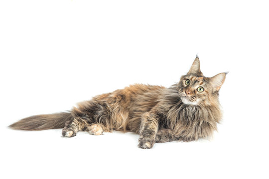 isolated maine coon cat specimen lying down / main coon female with careful look while playing