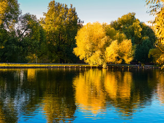 Yellow willow has not yet lost the leaves. A tree, like the sun, is reflected in a pond