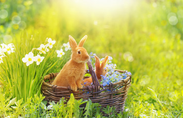 red rabbits in basket outdoor