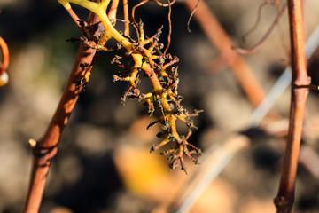 Raisin et vigne en fin d'automne