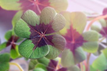 Image of lucky clover in a flowerpot