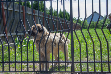 big dog after the fence