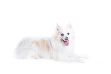isolated portrait of a german spitz lying down / portrait of a German, white and beige spitz, lying down and in profile looking at the camera