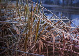 A nice dry pattern of reeds covered with frost. Plant and water in coldness season.