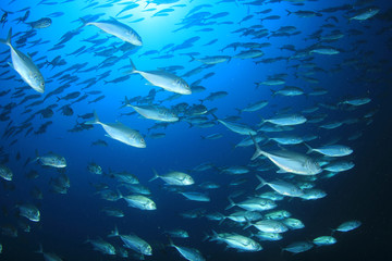 Tuna and sardines fish in ocean
