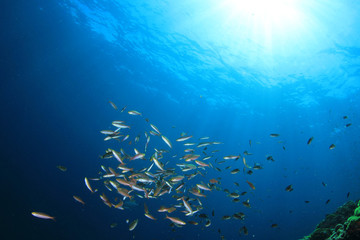 Tuna and sardines fish in ocean