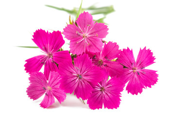 Wall Mural - Dianthus
