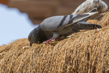 pigeon eating rice seeds