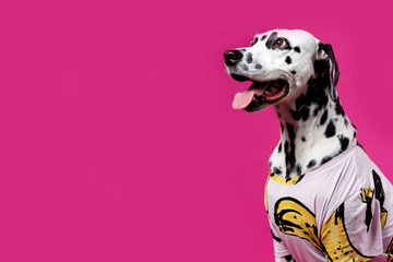 Portrait of a Dalmatian dog in colorful shirt, sitting in front of pink background. Place for text