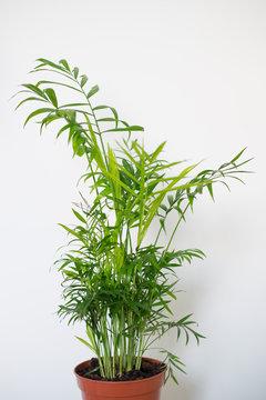 Chamaedorea elegans in a vase