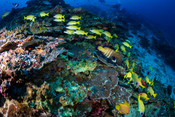 Wall Mural - Colorful Bluestripe Snapper on a tropical coral reef in the Andaman Sea