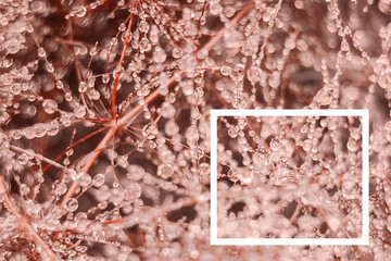 Living Coral background. Creative layout made from drops of fresh dew on the branches a with a white drawn frame. Color of the year 2019. Nature background.
