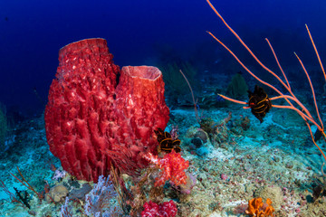 Wall Mural - Beautiful, huge sponges deep on a tropical coral reef (Similan Islands, Thailand)