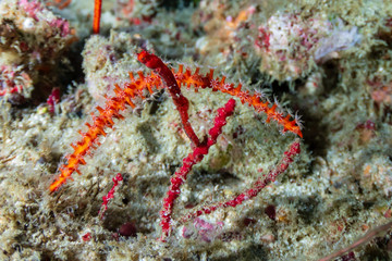 A Pygmy Pipehorse on a tropical coral reef