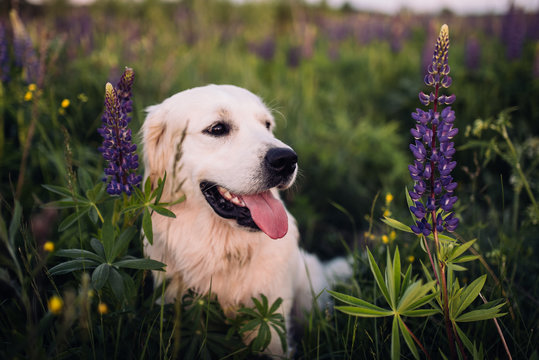 Golden retriever in the high grass of a field. Dog walking in the countryside in summer. Close-up of a golden retriever.
