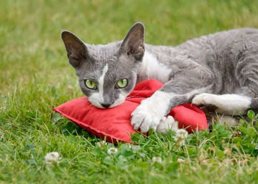 Devon Rex cat playing with a valerian cushion toy outside in a garden