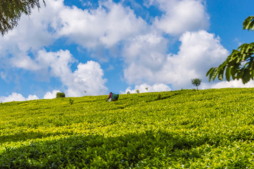 Field of tea leaves as far as the eye can see near